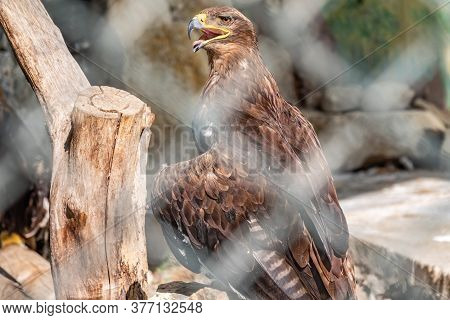 Steppe Eagle Proudly Perched On A Branch In The Aviary And Looks Closely. Aquila Nipalensis