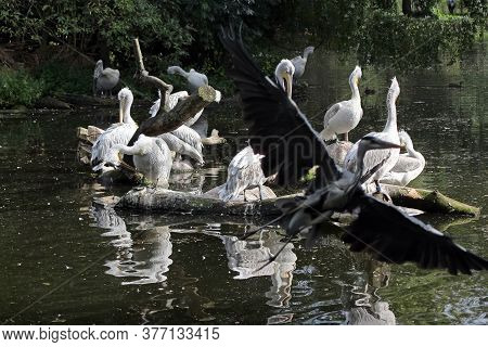 Pelicans In The Pond. A Flock Of Pelicans Sits On A Tree That Has Fallen In The Water. In The Foregr