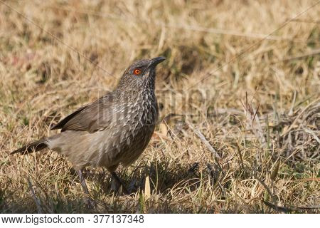 Arrow-marked Babbler (turdoides Jardineii) With Bright Orange Eye Foraging On The Ground In South Af