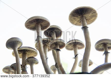Hallucinogenic Psychedelic Drug. Fresh Psilocybin Shroom. Fungi Hallucinogen. Psilocybin Cubensis Mu