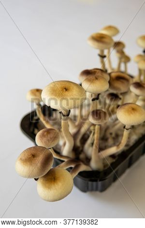 Hallucinogenic Psychedelic Drug. Fresh Psilocybin Shroom. Fungi Hallucinogen. Growing Albino A Strai