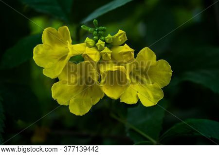 Spring Flowering Bermuda Buttercup Or Yellow Buttercup Allamanda Flower Blossom Close Up Shot