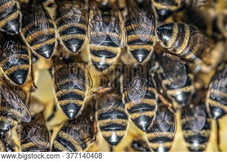 Closeup Macro Of Bees On Wax Frame Honeycomb In Apiary Honey Bee Hive With Selective Focus