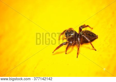 Small Common Spider Isolated On Yellow Background.