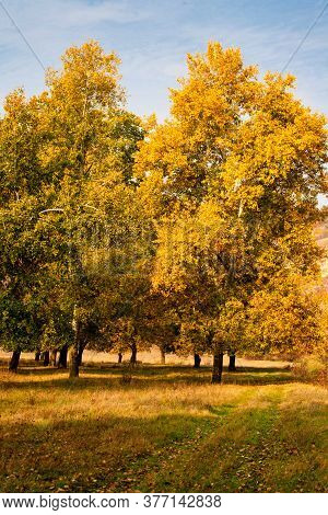Autumn Background, Yellowed Leaves On The Poplar Trees.
