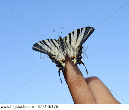 A Rare Species Of Butterflies Of The Species Iphiclides Podalirius, A Living Insect In The Hands Of