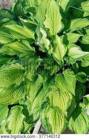 Hosta Plantain Closeup On A Sunny Day. Dense Green Foliage