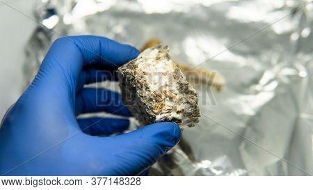 Recreational Varieties Of Psilocybin Mushrooms, Study Of Magic Mushrooms And Their Effects. Mycology