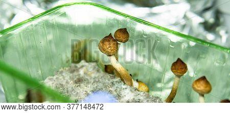 Growing Psilocybin Mushrooms. Medical Research On Psilocybin