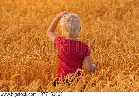 Fair Haired Boy Walks Through Field Of Ripe Wheat. Back View. Countryside.