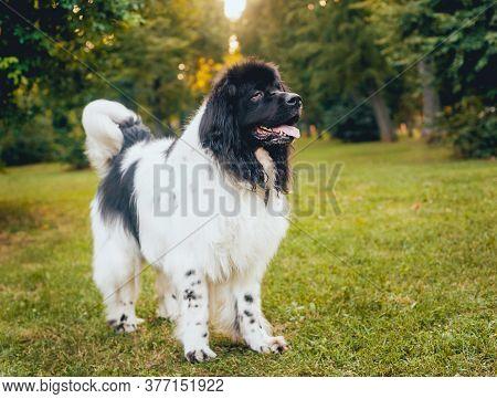Beautiful Newfoundland Dog In The Park. Background