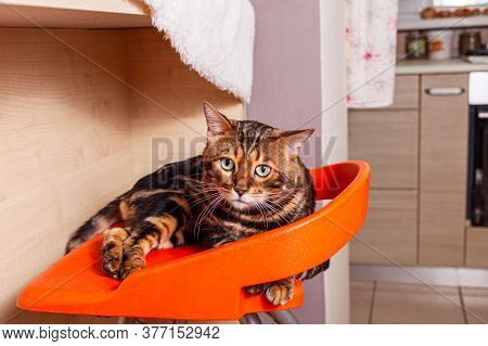 A Beautiful Bengal Cat Lies On An Orange Bar Stool