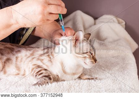 An Elderly Woman Injects A White Tiger Bengal Cat