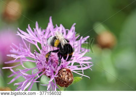 Bumble Bee Collects Pollen From The Purple Cornflower, Macro Shot. Wild Nature, Summer Meadow
