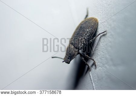 Small Predacious Ground Beetle / Strange Horned Beetle On Isolated On Back Background. Animals Wildl