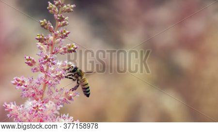 Pollinating European Honey Bee (apis Mellifera) Hover In Front Of White Flowers.