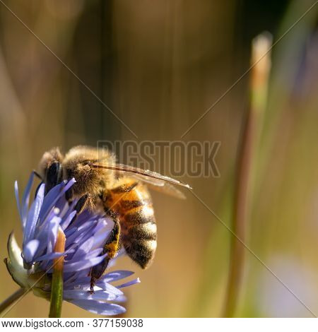 European Honey Bee (apis Mellifera) Collecting Pollen From Blooming Blue Meadow Flowers