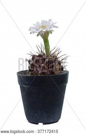 White Flower Of Cactus Or Gymnocalycium Variegata Bloom In The Black Plastic Pot Isolated On White