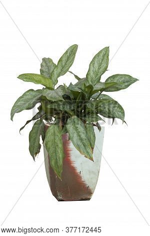 Aglaonema Or Chinese Evergreen In Pot Isolated On White Background Included Clipping Path.