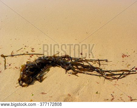 Seaweed. Dark Green Long Algae On The Yellow Sand. Kelp And Seaweed Washed Upon The Shore In Ericeir