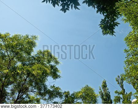 Green Crowns Of Acacias And Poplars Form A Semicircle Against The Background Of A Transparent Blue S