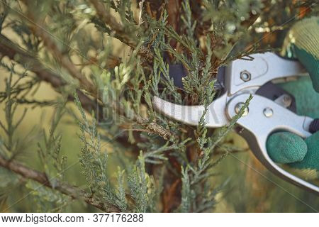 Hand Of Unknown Worker In Glove Is Cutting Green Thuja Or Juniper Tree With Sharp Pruning Shears On