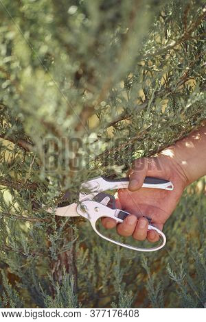 Bare Hand Of Unrecognizable Grower Is Clipping Green Thuja Or Juniper With Sharp Pruning Shears In S