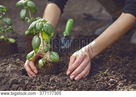 Hands Of Unrecognizable Girl Are Planting Green Basil Seedling Or Plant In Ground. Organic Gardening