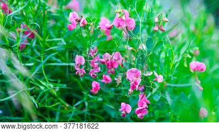 Lathyrus Odoratus, Fragrant Rank Or Sweet Peas. Wild Field Flowers Of The Genus Legume. Summer Lands