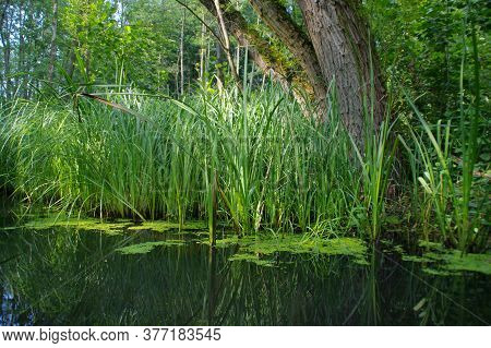 Restoring Natural Water Retention Reservoirs. Wild Wetland With The Grass And Reeds In Forest. Conce
