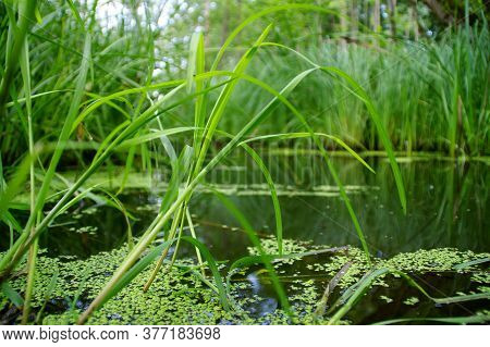 Wetlands. Wild Swamps With The Grass And Reeds In Forest. Restoring Natural Water Retention Reservoi