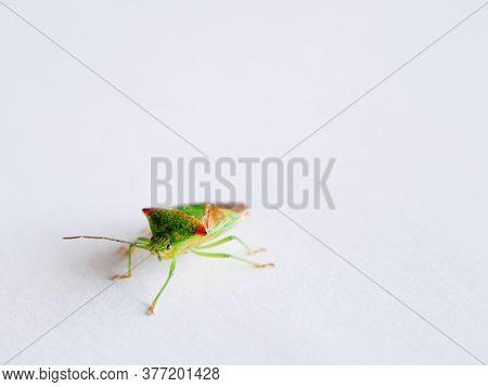Birch Shield Bug Stink Bug On White Close Up
