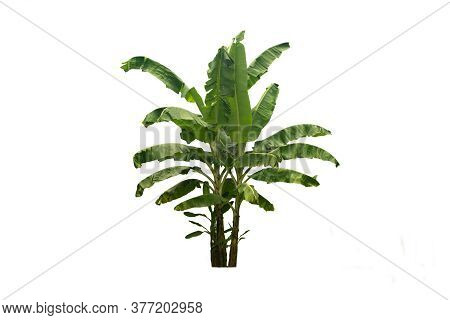 Banana Tree Isolated On White Background With Clipping Path.