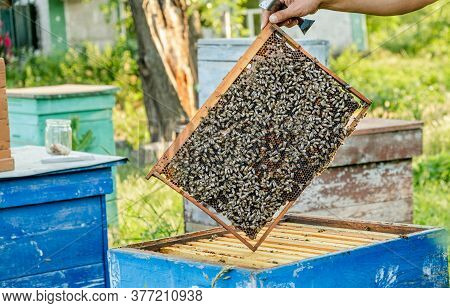 The Beekeeper Checks The Hive. Looks At Bees In The Sun.