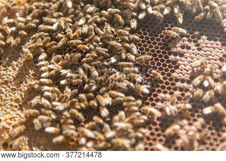 A Bee Family Crawls Around Its Uterus Bee.