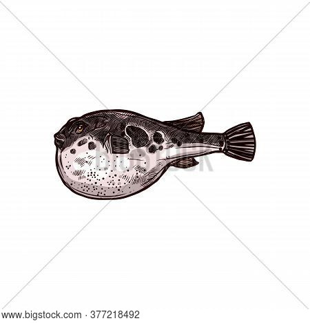 Purrerfish Isolated Vector Japanese Fugu Fish Hand Drawn Sketch. Vector Poisonous Fish With Puffed S