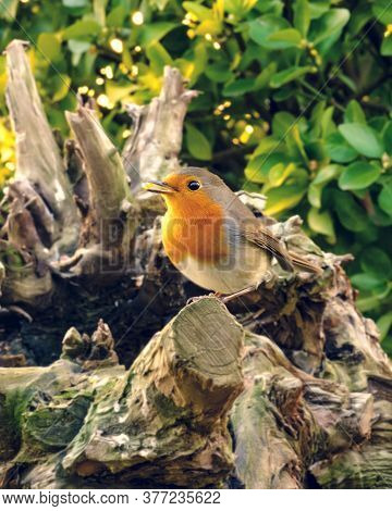 A Robin Among The Branches Of A Tree
