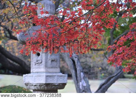 Beautiful Cedar Tree And Traditional Stone Lantern In Traditional Japanese Public Garden In Tokyo.