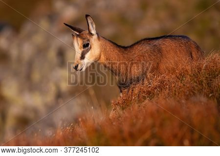 Little Tatra Chamois Standing In Mountains In Summer At Sunset.