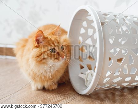 Cute Ginger Cat Overturned Wastebasket. Curious Fluffy Pet Is Looking At Trash. Funny And Playful Do