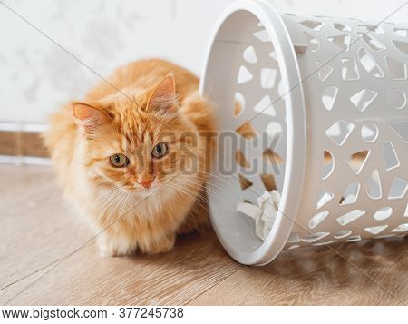 Cute Ginger Cat Overturned Wastebasket. Curious Fluffy Pet With Guilty Look Sits Near Trash Can. Fun