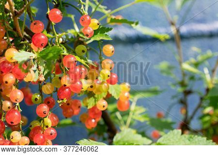 Red Berries On A Branch ,berry, Tree, Nature, Berries,