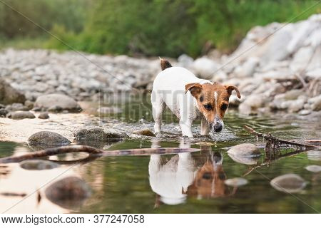 Small Jack Russell Terrier Exploring Shore Of Shallow River, Her Fur Wet From Swimming, Afternoon Su