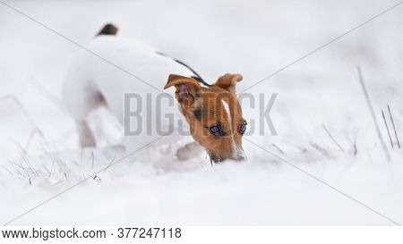 Small Jack Russell Terrier Walking On Snow, Sniffing The Ground