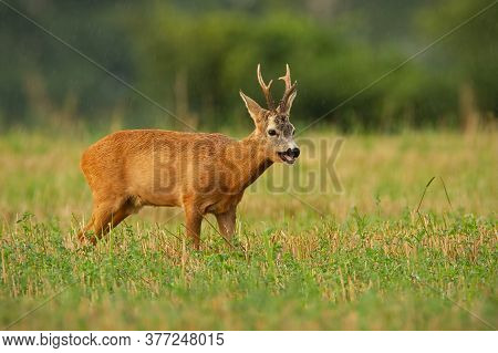 Majestic Roe Deer Standing On Stubble Field During Rain In Summer Nature.