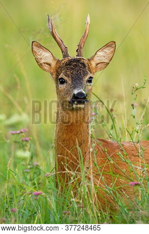 Interested Roe Deer Buvk Looking To The Camera On Meadow.