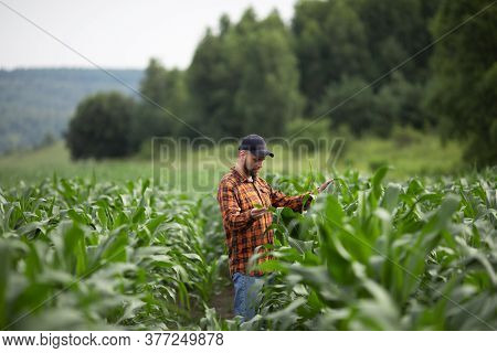 A Farmer Agronomist Inspects The Stems And Leaves Of Green Corn. Agricultural Industry