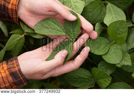 The Farmer Inspects And Checks The Green Leaves Of Soybeans For The Presence Of Pests. Agricultural