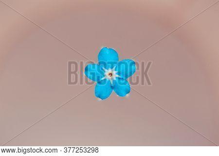 Forget-me-nots Single Flower. Deep Blue Petals. Beautiful Floral Romantic Background. One Blue Flowe