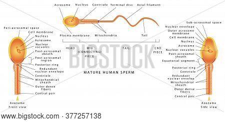 The Semen Of Men. Human Sperm Cell Anatomy. Human Sperm Cell Anatomy Structure Of Spermatozoon. Male